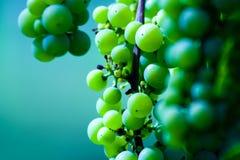 Esverdeie o conjunto da uva para vinho fotos de stock royalty free
