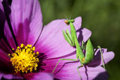 Esverdeie o Mantis Praying Imagem de Stock Royalty Free