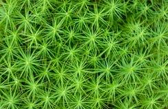 Esverdeie o musgo Fotografia de Stock