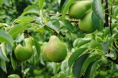 Esverdeie peras na árvore fotos de stock royalty free