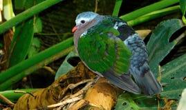 Esverdeie a pomba voada Fotografia de Stock