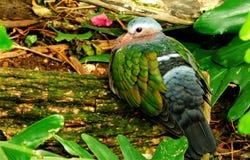 Esverdeie a pomba voada Imagem de Stock