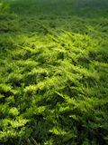 Esverdeie a textura de madeira elfin Fotos de Stock