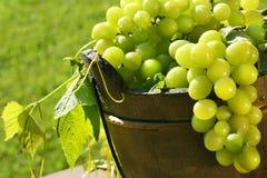 Esverdeie uvas no sol Foto de Stock