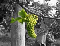 Esverdeie uvas para vinho Foto de Stock Royalty Free