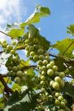 Esverdeie uvas para vinho imagens de stock royalty free