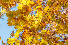 Or et Brown Autumn Maple Leaves Image stock