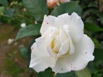 Et explosion de blanc et de rose Images libres de droits