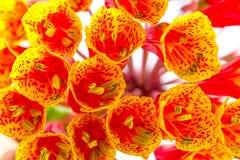 Et jaune de PS de Bomarea cadre rempli par fleur rouge Image stock