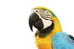 Or et oiseau bleu d'ara d'isolement sur le fond blanc Photographie stock