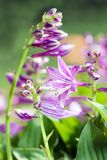 Etail summer flower - Hosta sieboldii Stock Photography