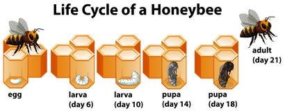 Etap Życia Honeybee ilustracja wektor