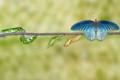 Etap życia męski wielki mormon motyl od gąsienicy Zdjęcie Royalty Free