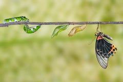 Etap życia męski wielki mormon motyl od gąsienicy Zdjęcia Stock