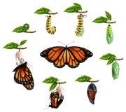 Etap Życia Motyli Realistyczny set ilustracji