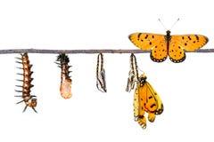 Etap życia Tawny Coster transformata od gąsienicy butterf zdjęcie royalty free