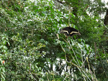 Etap Życia Czarny Swallowtail motyl Obraz Royalty Free