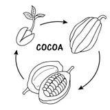 Etap życia kakao Obraz Royalty Free