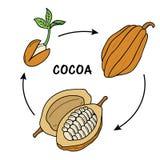 Etap życia kakao Ilustracja Wektor
