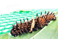 Etapa de Caterpillar de la mariposa birdwing de oro Imágenes de archivo libres de regalías
