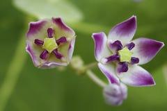 Etapa de la flor Fotografía de archivo libre de regalías