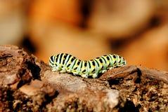 Etapa de la oruga del machaon de Papilio Imagenes de archivo
