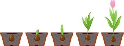 Etapa del crecimiento del tulipán Fotos de archivo libres de regalías