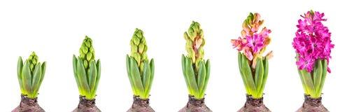 Etapa del crecimiento del jacinto aislada en el fondo blanco Imagen de archivo