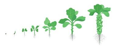 Etapas de la cosecha de la col de las coles de Bruselas Planta miniatura creciente de las coles de las coles de Bruselas Verdura  ilustración del vector