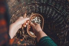 Etapas de la cosecha de la haba blanca: cosecha cerrada seca con las alubias secas listas de la misma planta foto de archivo