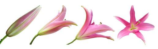 Etapas de la flor del lirio Imagenes de archivo