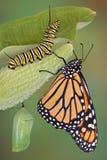 Etapas de la vida del monarca Imágenes de archivo libres de regalías