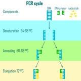 Etapas del ciclo de la polimerización en cadena Fotografía de archivo libre de regalías