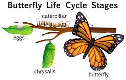 Etapas del ciclo de vida de la mariposa Imagen de archivo libre de regalías