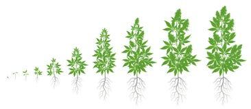 Etapas del crecimiento de la planta del cáñamo Sistema de las fases de la marijuana Período de maduración indica del cáñamo El ci libre illustration