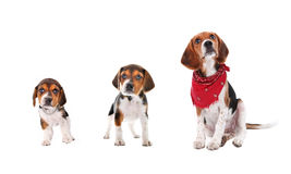 Etapas del crecimiento del perrito del beagle Imagenes de archivo