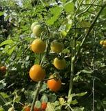 Etapas del crecimiento del tomate Fotografía de archivo