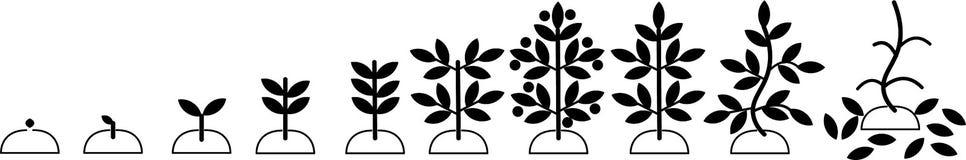 Etapas del desarrollo de la planta - el crecimiento de la planta de la semilla a una planta fructífera adulta libre illustration