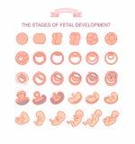 Etapas del ejemplo del vector del desarrollo fetal Aislado en el fondo blanco Imagen de archivo libre de regalías