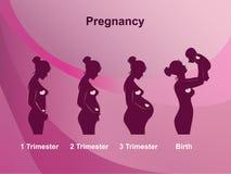 Etapas del embarazo Fotos de archivo