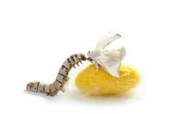 Etapas del gusano de seda tres del capullo del gusano de seda de la mariposa Fotografía de archivo