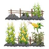 Etapas del maíz, agricultura del crecimiento Fotografía de archivo libre de regalías