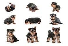 Etapas del terrier de Yorkshire del perrito del crecimiento Imagen de archivo libre de regalías
