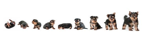 Etapas del terrier de Yorkshire del perrito del crecimiento Imágenes de archivo libres de regalías