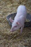 Etapas do porco do bebê dentro e fora do seu bandeja do café da manhã imagem de stock royalty free