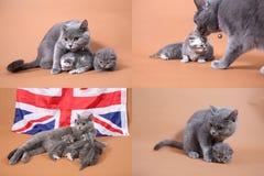 Etapas na vida azul dos gatinhos de Ingleses Shorthair, quatro telas Imagem de Stock Royalty Free