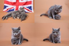 Etapas na vida azul dos gatinhos de Ingleses Shorthair, quatro telas Fotografia de Stock Royalty Free