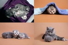 Etapas na vida azul dos gatinhos de Ingleses Shorthair, quatro telas Imagens de Stock