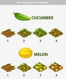 Etapp av tillväxtgrönsaker Gurka och melon Arkivfoton