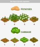 Etapp av tillväxtgrönsaker Kål och potatisar Royaltyfri Foto